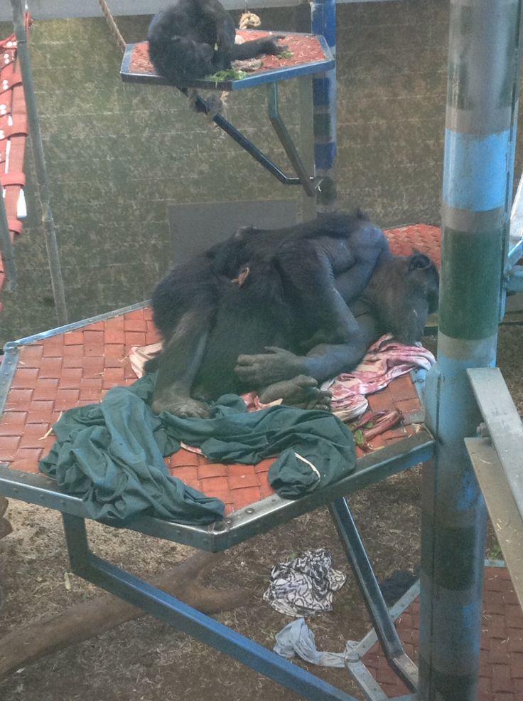 Chimps at Monarto Zoo