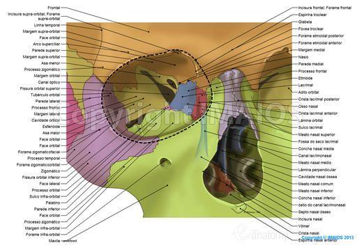 Cavidade orbital: Sulco lacrimal, Fissura orbital superior, Fissura orbital inferior, Canal lacrimonasal