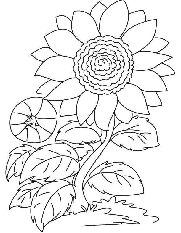 Gambar Bunga Matahari Yang Mudah Digambar Dan Berwarna Lukisan Bunga Buku Mewarnai Bunga