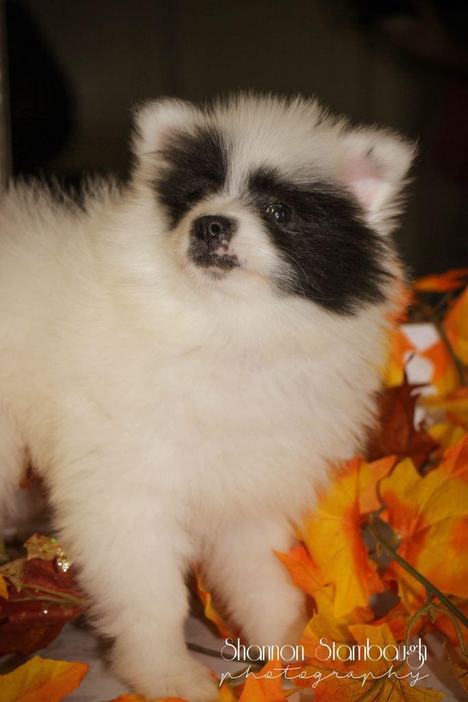 Porsha Female Aca Pomeranian Full Price 825 Pomeranian Puppy For Sale Dog Adoption Dog Breeder