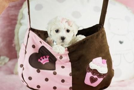 ♥☆Micah The Maltese FOR SALE♥☆ Bring Her Home TODAY! 954-353-7864/// www.teacuppuppiesstore.com #maltese #toy #teacup #micro #pocketbook #teacuppuppies #teacuppuppiesstore #tiny #teacuppuppiesforsale #teacupmaltese #small #little #florida #miami #fortlauderdale #bocaraton #westpalmbeach #southflorida #soflo #miamibeach #cute #adorable #puppy #puppyforsale #puppiesforsale #puppylove #love #dog