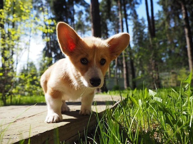 cute corgi pup photo green grass