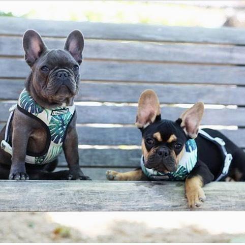 Home Page Dog Treat Toys French Bulldog Puppies Bulldog Puppies