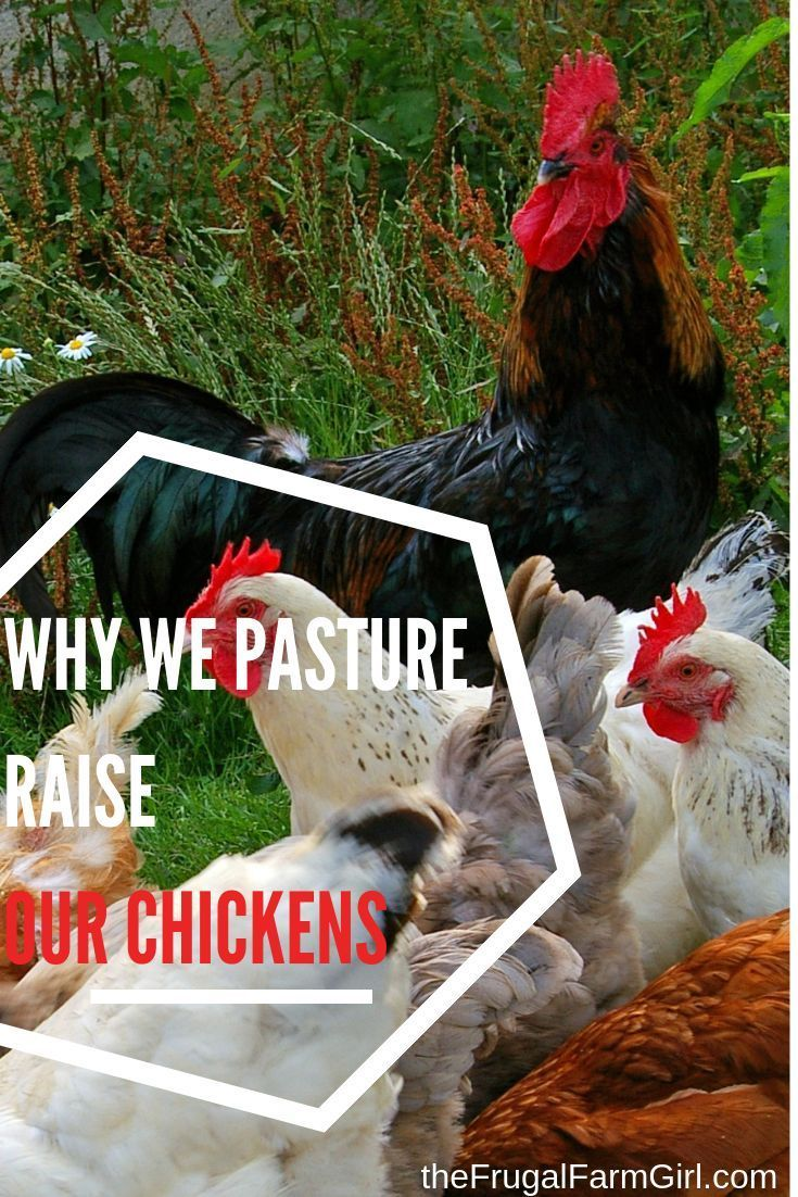 Why We Choose to Free Range Chickens- Even After a Raccoon