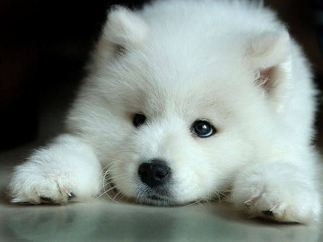 Community Post: Undeniable Proof That Samoyeds Are Irresistible Dogs