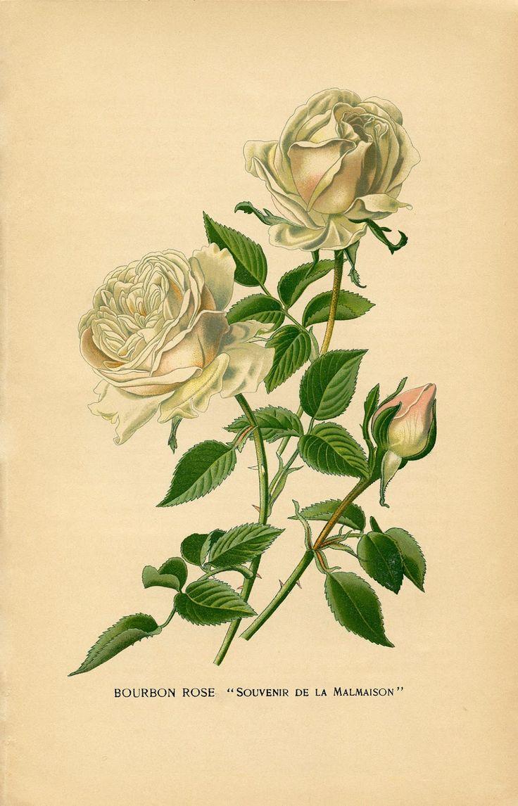Vintage Printable - White Roses - Botanical - The Graphics Fairy