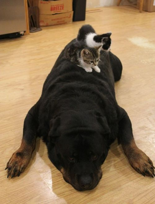 I just want to HUG THEM: Cats, Rottweilers, Animals, Dogs, Rottie, Pets, Kittens, Funny Animal