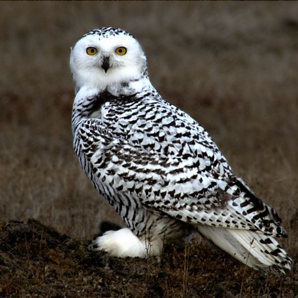 Snowy Owl (Bubo scandiacus). Unlike most owls, Snowy Owls are diurnal, extremely so. They'll hunt at all hours during the continuous daylight of an Arctic summer. And they may eat more than 1,600 lemmings in a single year