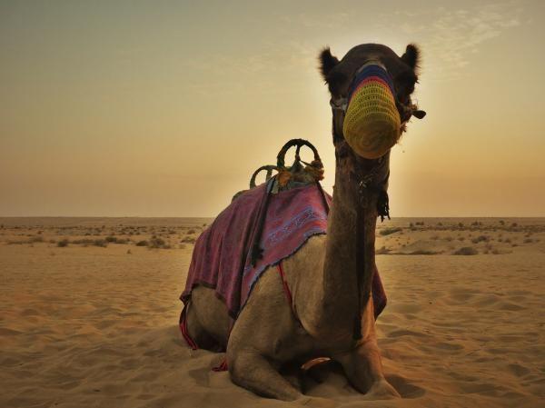 Dromedario. Se diferencia del camello porque éste tiene dos jorobas y el dromedario sólo una;el camello proviene de Asia Central y dromedario de Península Arábiga; dromedario tolera más calor (+50ªC) en cambio el camello tolera más frío (como en el desierto de Gobi -40ºC)