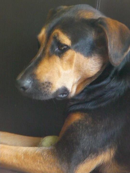 Beautiful shepherd doberman mix | Dogs .... health love ...