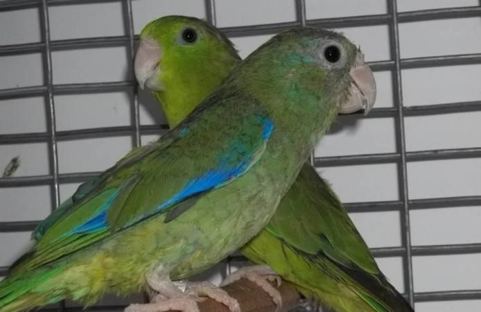 Find Rare Spectacled Parrotlets For Sale only at Xtreem Parrotlets. We have gorgeous Spectacled Parrotlets (Forpus conspicillatus) birds on sale now.