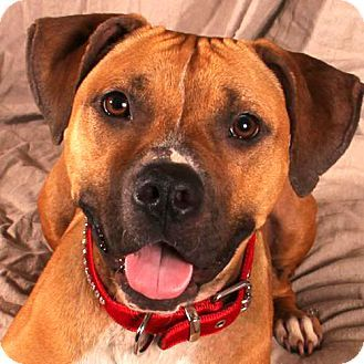 BUTTERCUP - 1 year, 6 months old -  Boxer, Terrier Mix - Female - 9532151 - My foster daddy found me very hungry and skinny. The vet said I had not more than a few days left to live. He took me home to meet mommy and they are taking care of me but they can't keep me because they already have lots of dogs. Today I am gorgeous - my mamma says so. - Silver Rescue - Nashville, TN - #9532151 - FOR MORE PICS, VIDEOS & INFO: http://www.adoptapet.com/pet/14654862-nashville-tennessee-boxer-mix