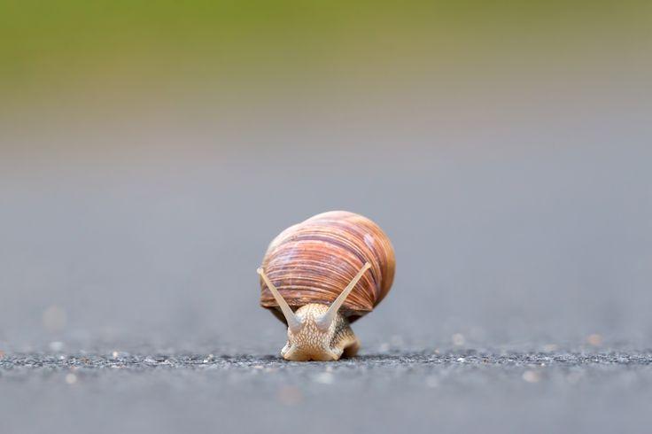 Burgundy snail (Helix pomatia) - Burgundy snail (Helix pomatia)on the street
