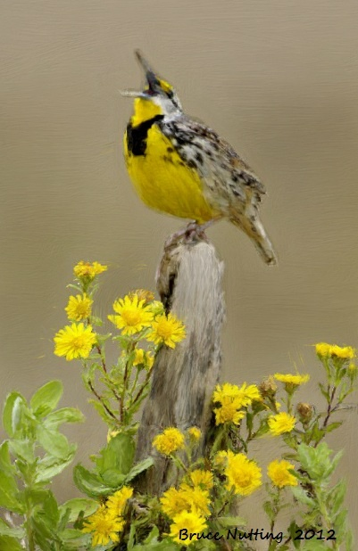 Kansas State Bird-The Meadow Lark sitting with the State ...