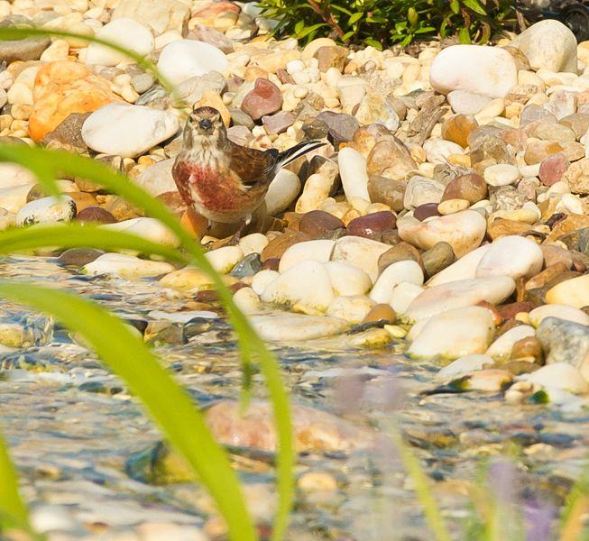 A Linnet at the brook of the natural swimming lake; Casa Flor de Sal, Ferienhaus, Ostalgarve, Portugal