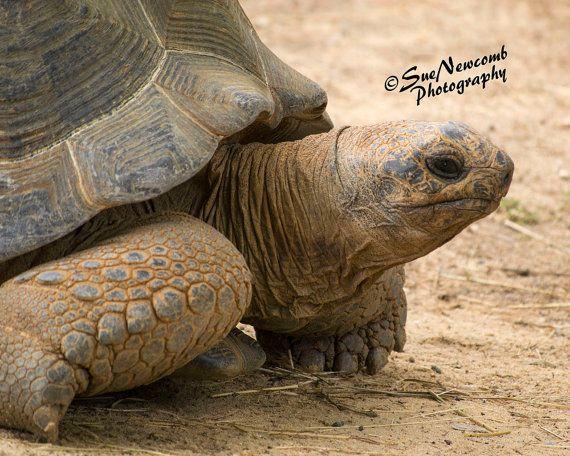 Tortoise Portrait by SueNewcombPhotos on Etsy