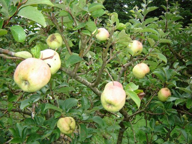 Filippa æbler (Filippa apples)