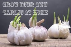 If you want to learn how to grow garlic, start by thinking of it like a bulb. Unlike most vegetables, the best time to plant garlic is in the fall (even though many seed catalogs will sell it in spring). Ideally, get it in the ground right after your area's first killing frost (this may be from late September to November or even December, depending on where you live). After you plant it, garlic will develop a healthy root system in the cool soil. It goes dormant over winter and waits to s...