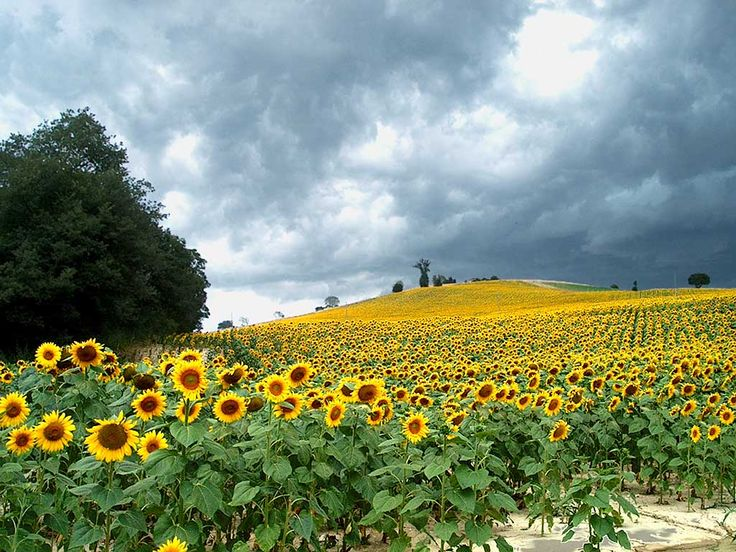 I want to run through a field of sunflowers in Italy