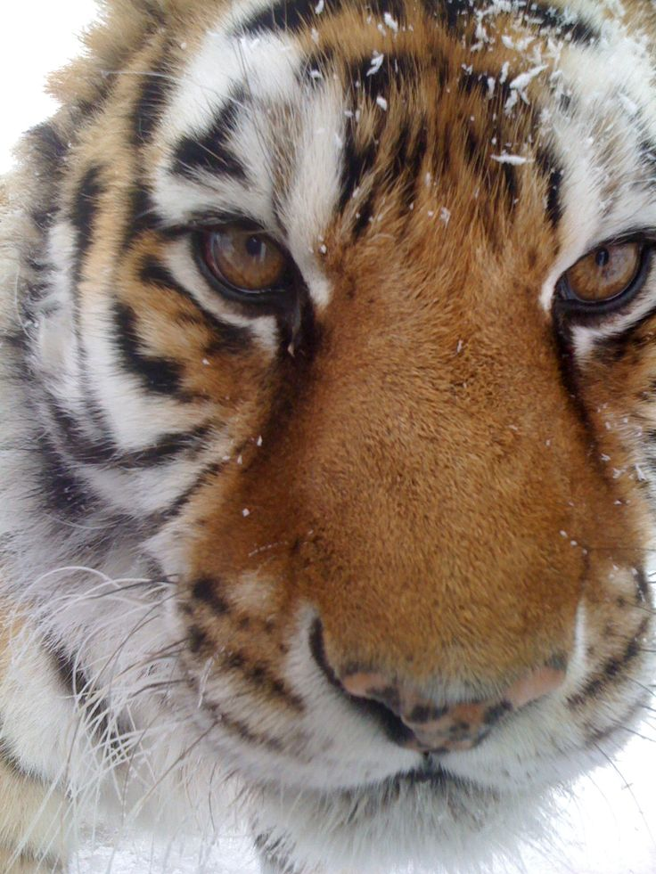 Tigers in the snow <3