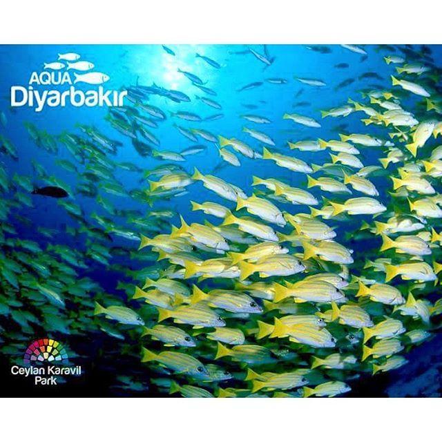 【aqua_diyarbakir】さんのInstagramをピンしています。 《🐠💕🐠. Bayram'da birbirinden güzel ve değişik sualtı canlılarını gormek icin uzaklara gitmenize gerek yok. Diyarbakır Ceylan Karavil Park Avm de bulunan Aqua Diyarbakir Tunel Akvaryumu ziyaret edebilirsiniz. 💙🐠💙🐠💙🐠💙🐠💙🐠💙🐠💙🐠💙🐠💙🐠💙🐠💙🐠. #aquarium #fish #fishtank #jellyfish #water #saltwater #tank #coral #reef #freshwater #shark #sealife #ocean #sea #betta #nemo #goldfish #reeftank #fishes #水族館 #aquascape #ripleys #clownfish #bettafish…