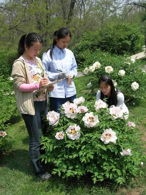 Shengyang Model Park   Paeonia Rockii,Gansu Peony,China.   ROCKII Tree Peony Plants,Japanese Peony,HERBACEOUS Peony ,Cinese Tree Peony,Peony Plants,Peony Shrub