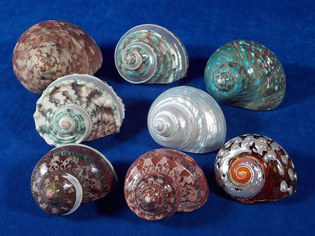 Eight assorted jumbo turbo sea shells for sale.  These are nice seashells for a collector or for your hermit crabs.
