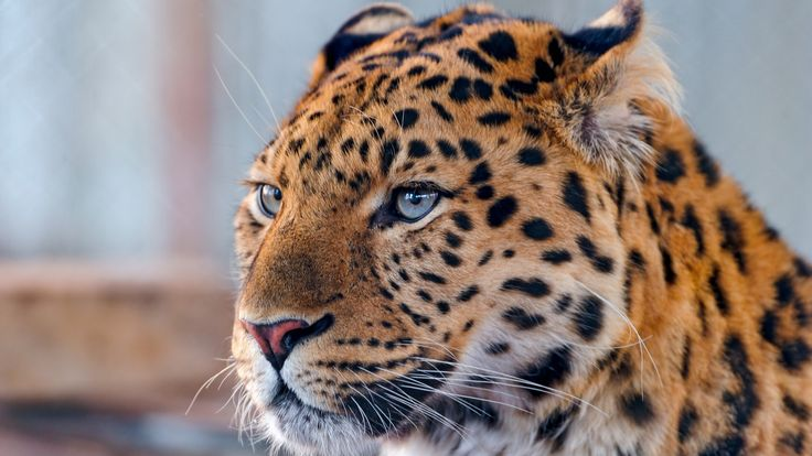 Leopard Free Wallpapers  Amazing Wallpaperz