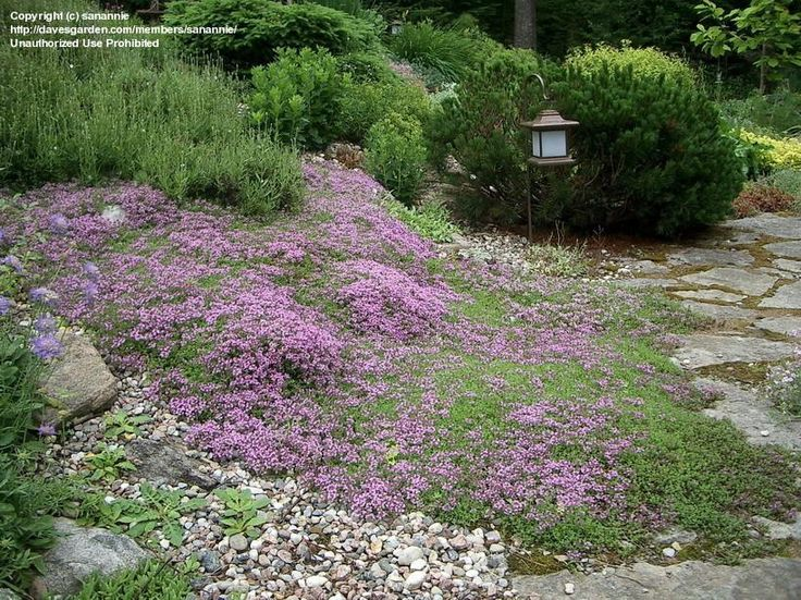 Creeping thyme! Beautiful ground cover for the sunny side of the garden-