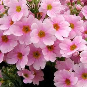 Primula Malacoides Pink