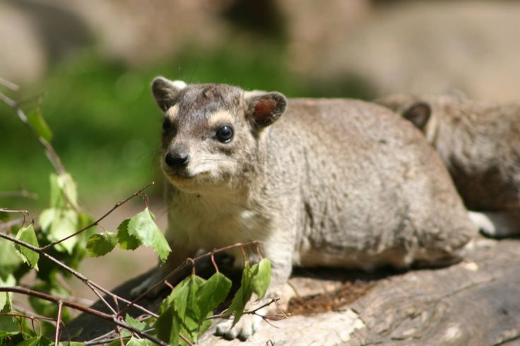 Today we bring you the next installment of #WildlifeWednesday, the Tree Hyrax. Showcasing the variety of animals located around the San Lameer Estate. The tree hyrax is a small nocturnal mammal that is distantly related to elephants and sea cows. They have 4-toed front feet and 3-toed back feet with rounded nails, and rubbery soles that help them climb. Colouring: Dependent on geographical location, their soft dense coats can range from a pale gray to light or dark brown. The variation is…