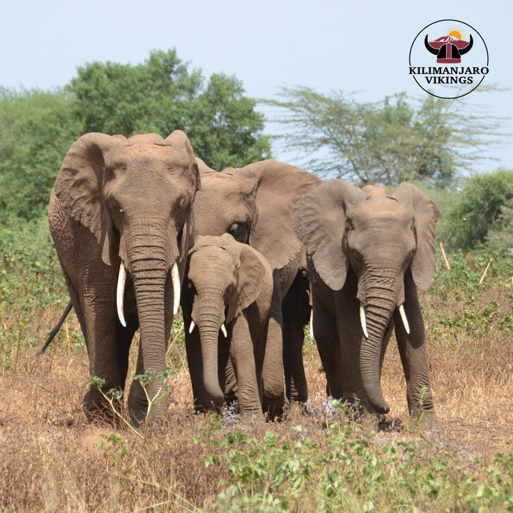 Lake Manyara National Park This relatively small park is divided into five distinct vegetation zones: ground-water forest, marshland and reed beds, open grasslands and acacia woodland. In a single day, a visitor may see elephant, buffalo, zebra, hippo and the curious lions which have a habit of resting in trees.    #travel #travelling #traveller #Travelphotography #travellife #luxurytravel #holiday #tourism #tourist #lonelyplanet #nationalparkgee