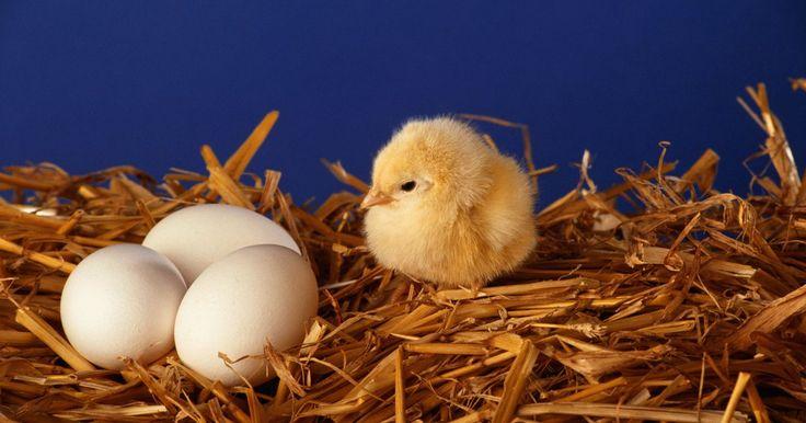 Como identificar o sexo do filhote da galinha antes do ovo chocar. Descobrir o sexo de aves é mais preciso e facilmente realizado após a fêmea ter chocado, mas ainda pode-se fazê-lo enquanto a galinha possui o ovo. O processo de identificação se um pintinho será do sexo feminino ou masculino é chamado de sexagem. Saber o sexo de um pintinho é importante para os fazendeiros para que possam determinar quantos dos ...