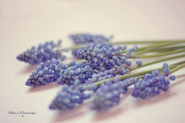Mona's Picturesque: Floral Love {Muscari Blue}