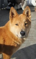 Hensley  German Shepherd Dog/Chow Chow Mix: An adoptable dog in San Diego, CA  Medium • Young • Male   Hensley is one cool dude: though he's one of the larger dogs in his play group, he is never domineering, pushy, or intolerant of the other dogs. When Norton, a low-rider, ran underneath him and starting mouthing at his legs to get him to play, Hensley allowed Norton to do this and responded just by playing with him. Hensley is about two years old, and he's got a gleaming red-fawn coat that…