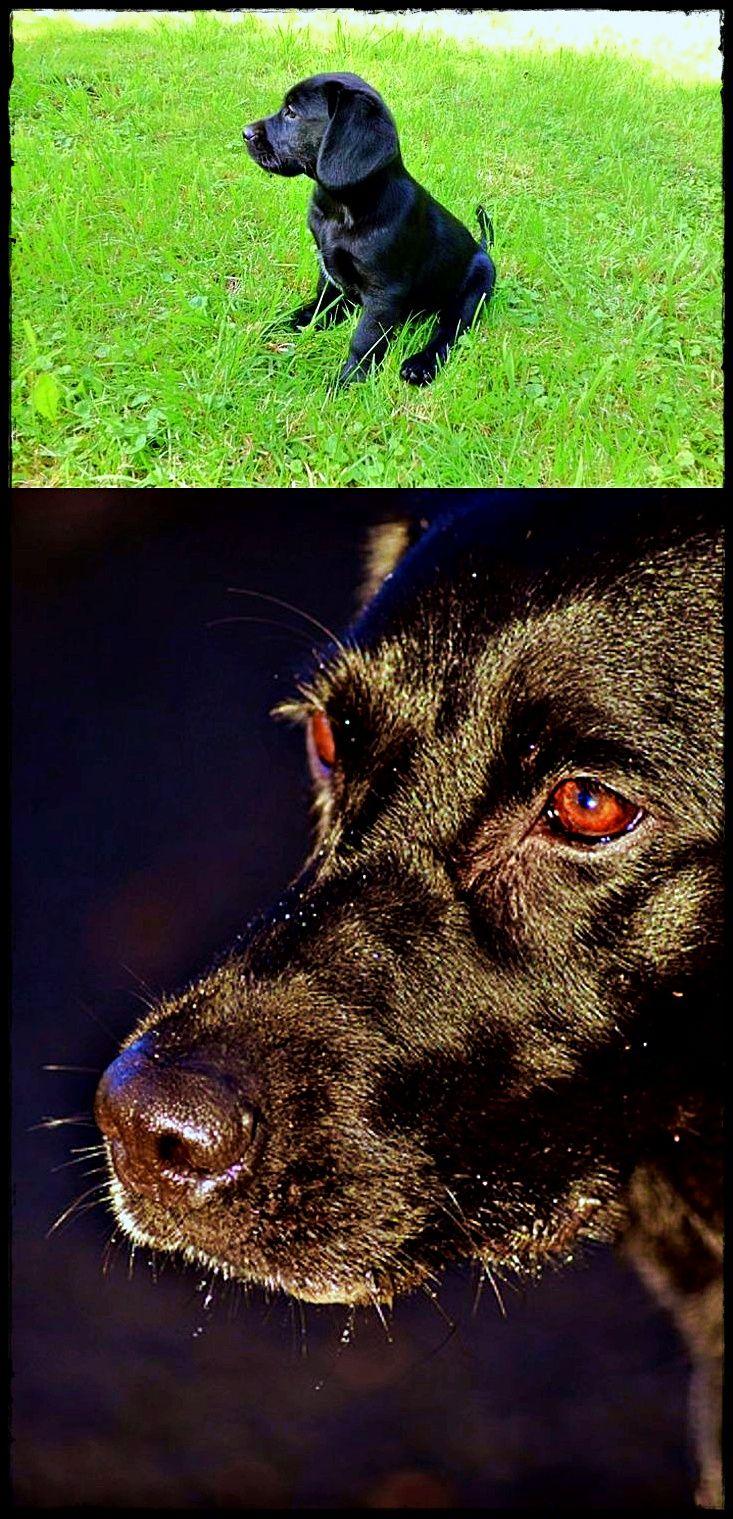 Labrador Puppies Vancouver Island You Want A Labradorqldmap Labradorbed Labradorpuppiesyork With Images Labrador Retriever Dog Breeds Retriever Dog