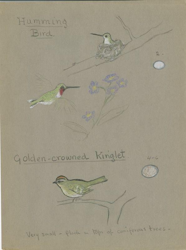 Humming Bird and Golden-crowned Kinglet | saskhistoryonline.ca