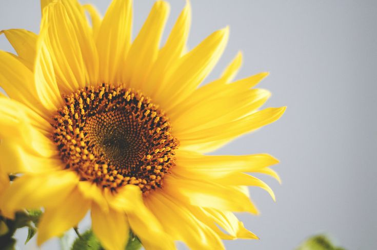 Descargar imagen gratis de un girasol en alta resolución y de dominio público. Perfecta para fondo de escritorio > http://imagenesgratis.eu/imagen-gratis-de-un-girasol/