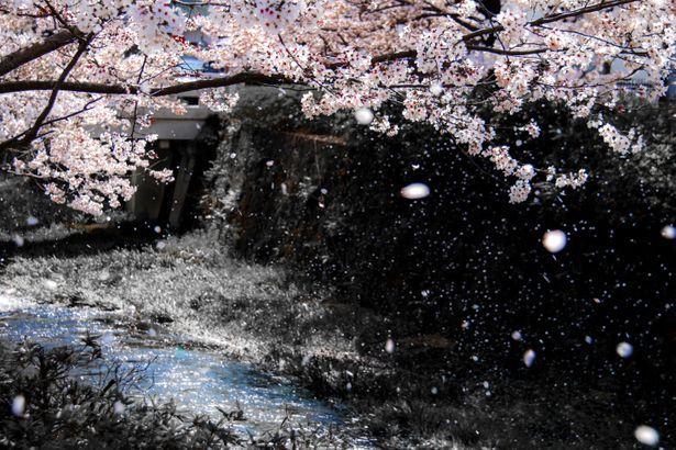 川辺の桜吹雪の画像。素敵な日本の情景。