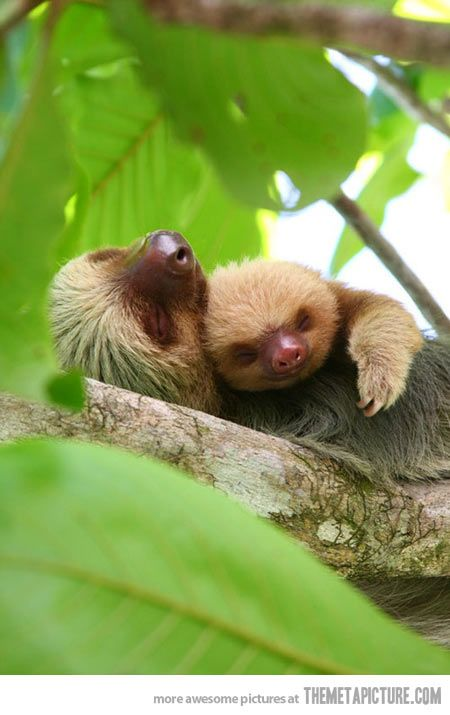 Cuddling Sloths…Almost bought one of these when our son was a baby.  we'd go into the pet store and feed it banana's.