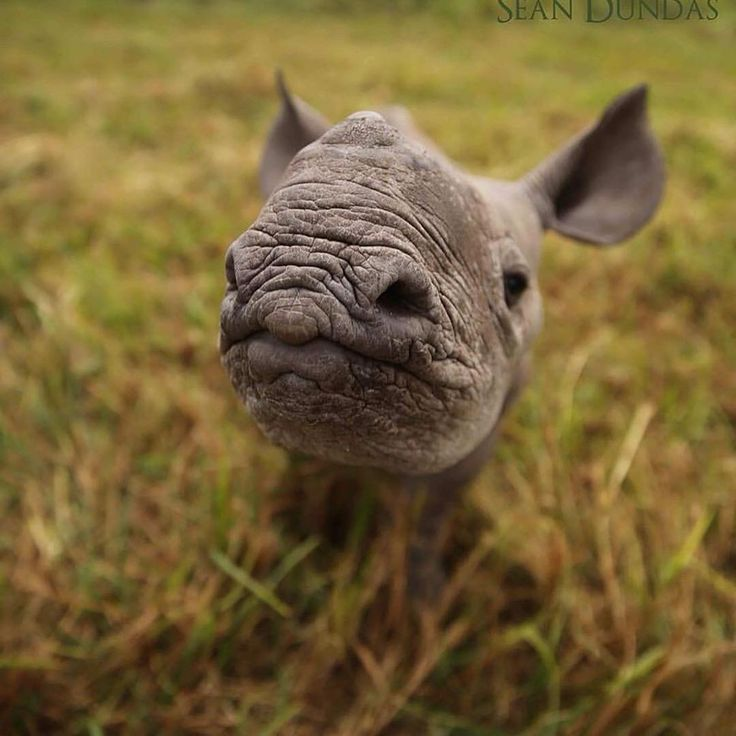 Baby rhino is too cute  @ausrhinoproject