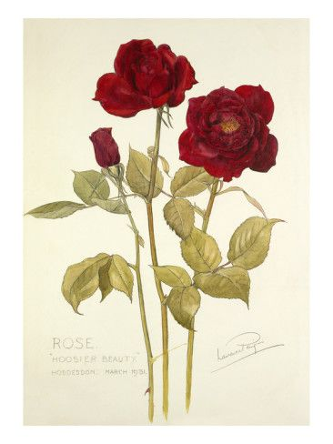 Rose Hoosier Beauty Giclee Print by Laurence Stanley Perugini at AllPosters.com