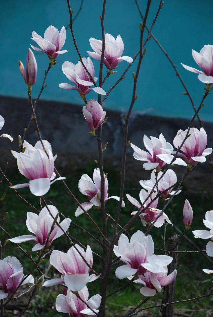 Magnolie Aninoasa