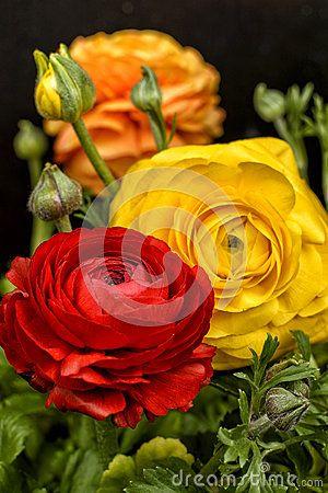 Flor Del Ranúnculo - Descarga De Over 48 Millones de fotos de alta calidad e imágenes Vectores% ee%. Inscríbete GRATIS hoy. Imagen: 78746071