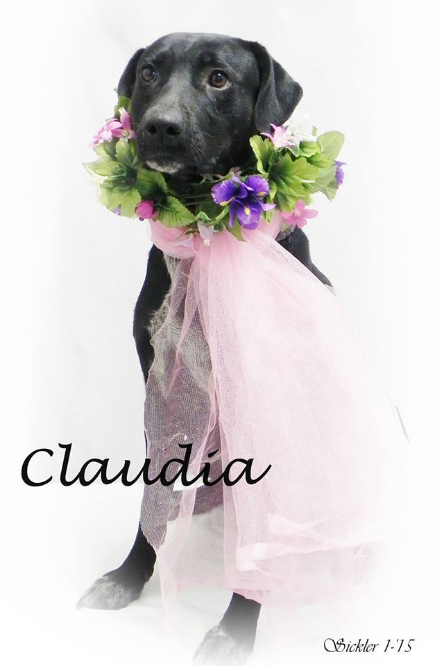 ***SUPER SUPER URGENT!!!*** - PLEASE SAVE CLAUDIA!! - EU DATE: 3/4/2015 -- Claudia Breed:Labrador Retriever (mix breed) Age: Adult Gender: Female Size: Medium Shelter Information: City of Emporia Animal Shelter 1216 Hatcher  Emporia, KS Shelter dog ID: claudia Contacts: Phone: (620)3406345 Name: Shelter Staff email: ashelter@emporia.ws  Read more at http://www.dogsindanger.com/dog/1423677397830#L7Ke9S6xsD7rMxzQ.99