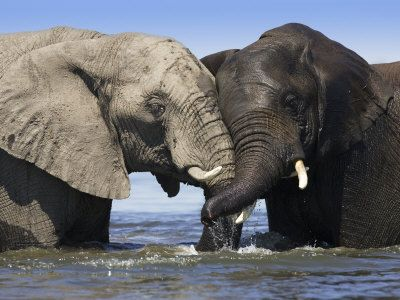 Two African Elephants Playing in River Chobe, Chobe National Park, Botswana