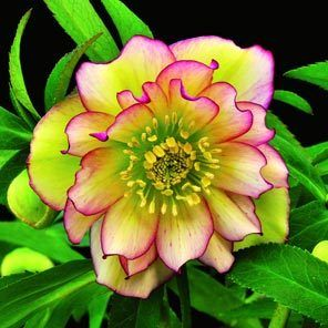 Hellebores offer winter color and evergreen foliage H. 'Amber Gem'  | The Seattle Times