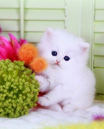 """Kitten Ballroom Dancing: Darling tango dancing snowball """"Misty-luvs-da-Warm-Cat-nip-zz-in-da-Sled"""" is also known for her innovative floral design. Check out her new book: """"The Misty Snowball's Book of Do-It-Yourself Wedding Flowers for Under $165,000"""" ・✿.。.:*"""