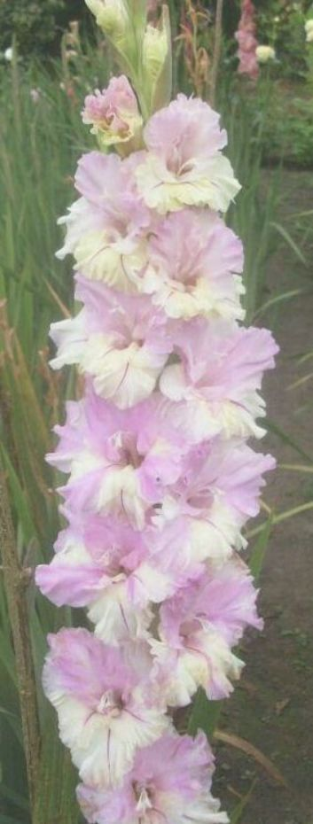 Gladiolusgladiolus Gladiolus Flower Garden Flower Beds Bulb Flowers