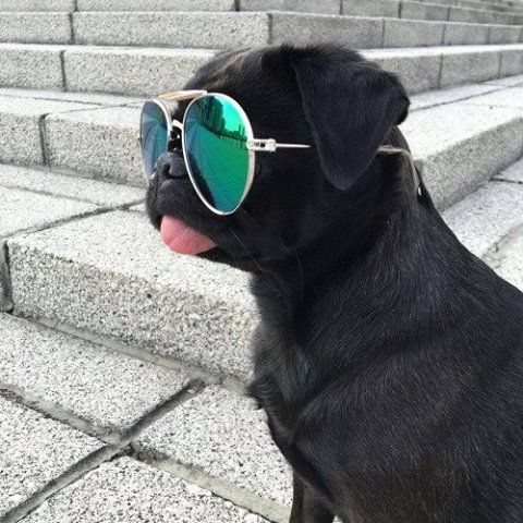 Kool Azz Pug!                                                                                                                                                                                 More